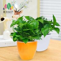 绿萝水培土培植物室内盆栽花卉绿植办公室盆栽植物