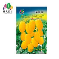 黄圣女种子小袋松大园艺家庭阳台盆栽精选花卉蔬菜种子易养易活